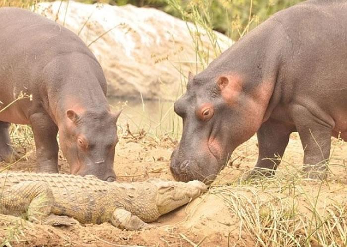 连小河马的哥哥亦上前与鳄鱼玩耍