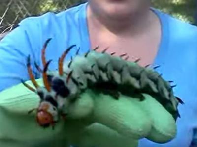 """美国阿拉巴马州男子在自家后院发现巨大毛毛虫 专家称是帝王蛾的幼虫""""山核桃角魔鬼"""""""