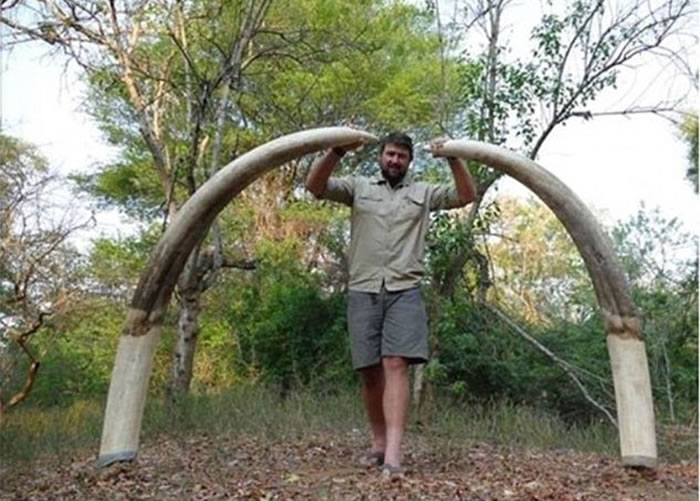 被杀大象的象牙非常重