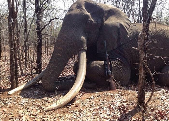 被杀大象或来自南非