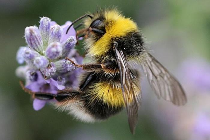 研究显示咖啡因能够吸引蜜蜂,或是植物寻求它们散播花粉的策略。