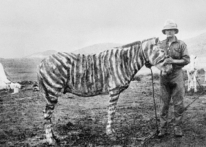 有战马被涂上间纹扮斑马