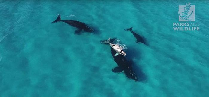 无人机在澳大利亚海岸拍摄到四头罕见南露脊鲸