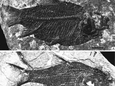 江汉鱼的新研究揭示其为鲤形目首个化石新科——江汉鱼科