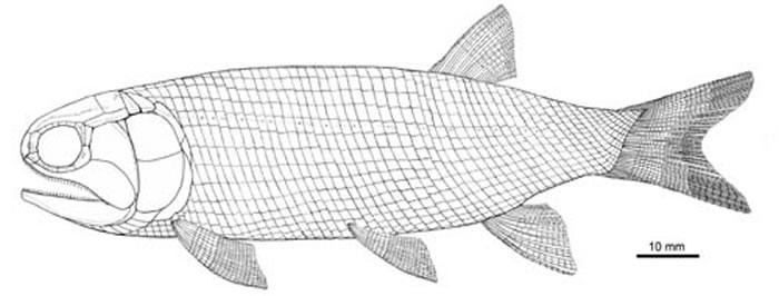 明水似凶暴鱼复原图。 (徐光辉供图)