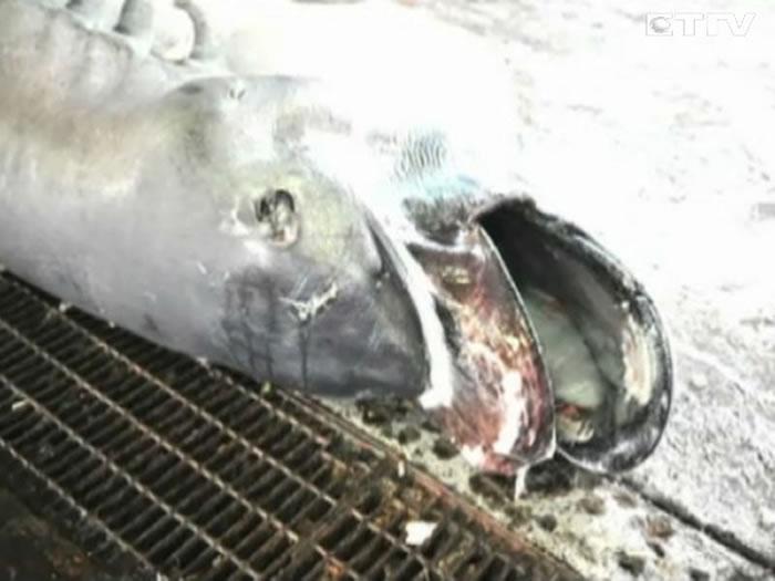 全球捕获107尾巨口鲨 台湾东部海域就占40尾