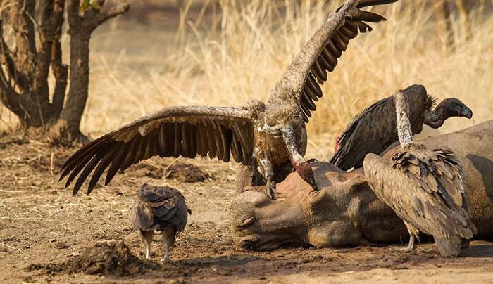 赞比亚的卢安瓜谷底饥饿非洲雄狮尽情享用死河马