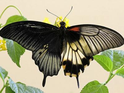 """英国赫特福德郡发现稀有物种——半雌半雄的""""人妖""""美凤蝶"""