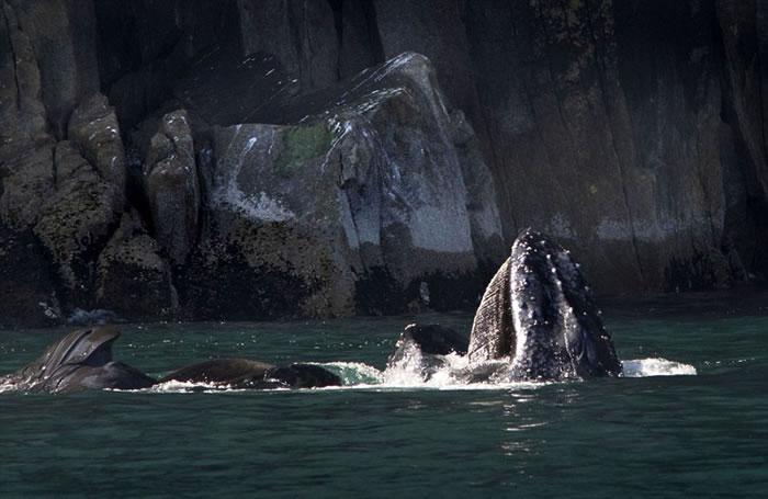 """美国阿拉斯加州海域一头座头鲸在进食后喷出""""爱心""""形水雾"""