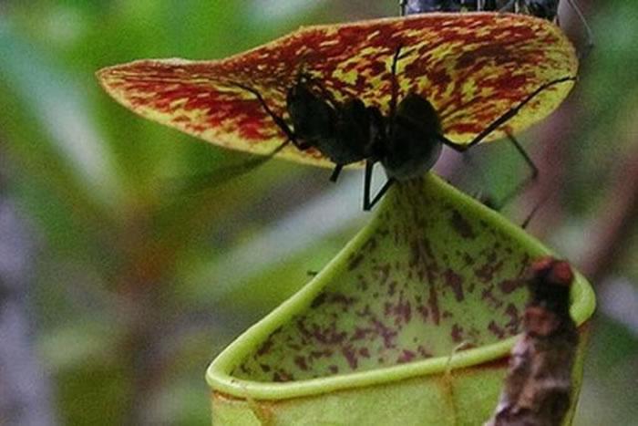 """最新研究显示,植物也是处于运动之中,小猪笼草会巧妙地利用雨滴,将落在盖状结构之下的昆虫弹入""""陷阱水壶""""中"""