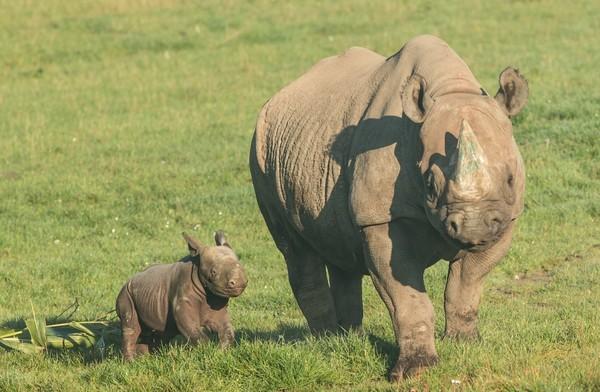 达马拉近日在园区内产下小黑犀牛