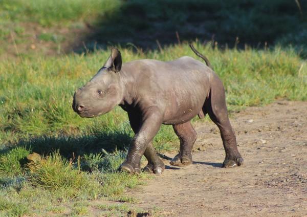 小黑犀牛目前尚未命名,但已经开始跟着妈妈探索世界。