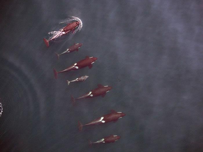 无人机更拍下一群杀人鲸在海上畅泳的珍贵片段