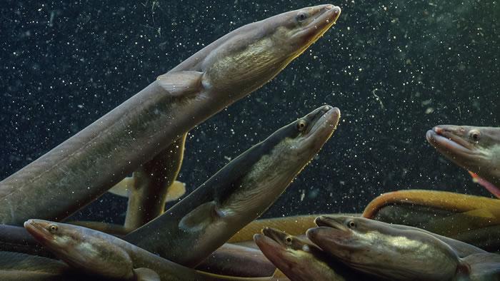 揭示美洲鳗神秘迁徙的秘密