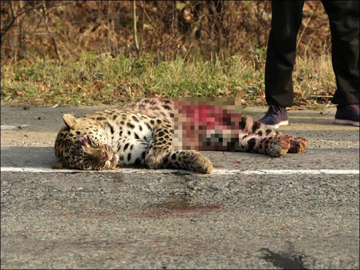 俄罗斯东南部一只濒危远东豹被汽车撞倒