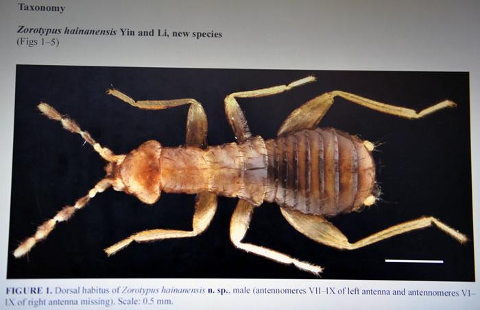 海南省雨林一块朽木中发现新品种缺翅目昆虫――海南缺翅虫