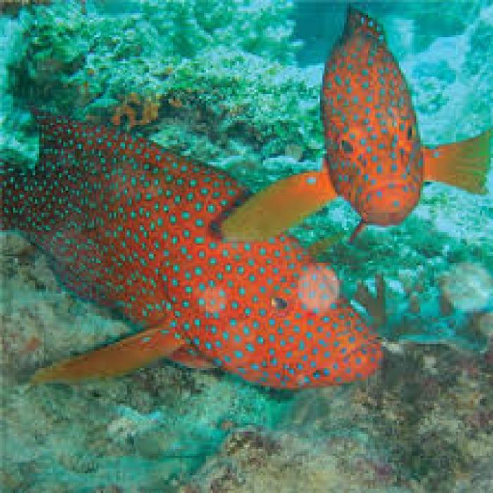 """七星班等海鱼也会""""呼救""""技俩-澳洲研究发现鱼类遇险时也懂得 呼救"""