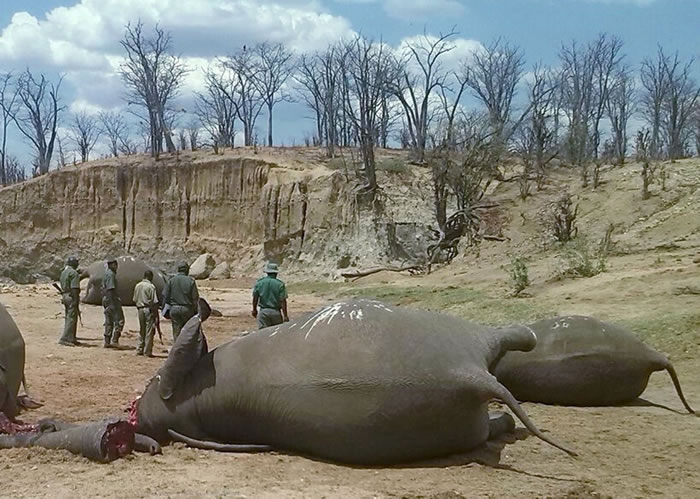 10月26日,津巴布韦万基国家公园,一群大象死于偷猎者之手,倒在一个水坑旁。