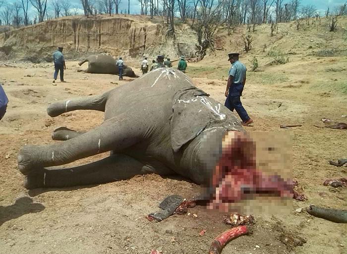 10月26日,津巴布韦万基国家公园,遭毒杀的大象象牙被盗走。