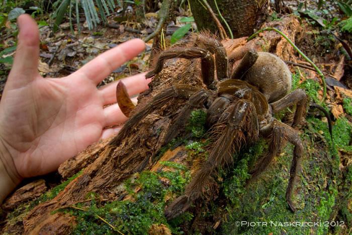 雨林中听到脚步声 原来是世界上最大的蜘蛛——南美巨人食鸟蛛
