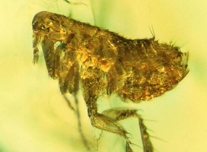 科学家在一只被琥珀封存了2千万年之久的跳蚤体内发现了一种古老的细菌,可能是鼠疫耶尔辛杆菌(引起淋巴腺鼠疫的细菌)的一支古老的分支。