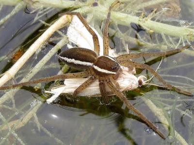 """英国最大蜘蛛""""植狡蛛""""体型如老鼠 保育见成果数量增"""