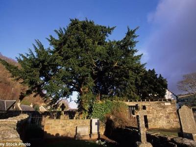 """英国5000年古树""""福廷欧紫杉""""开始""""变性"""""""
