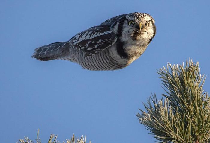 芬兰摄影师拍摄到猫头鹰边滑翔边冷眼盯着镜头的罕见情景