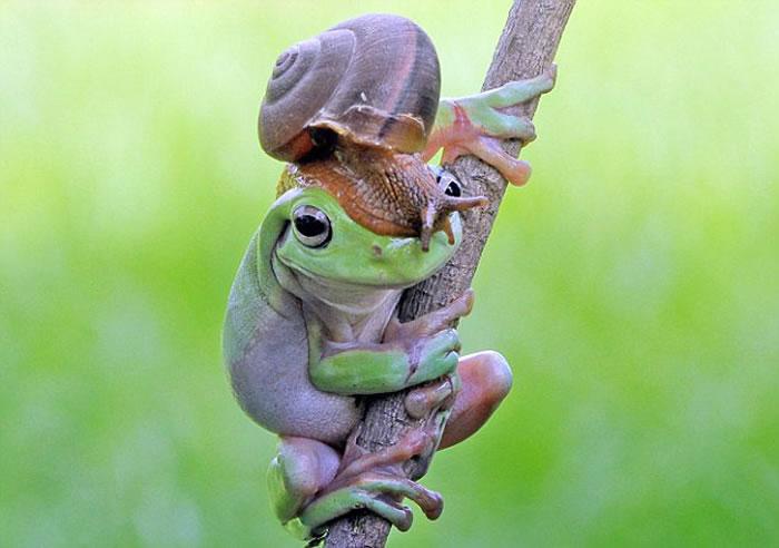 印度尼西亚男子在自家后花园拍到澳大利亚树蛙和蜗牛和谐共处的画面