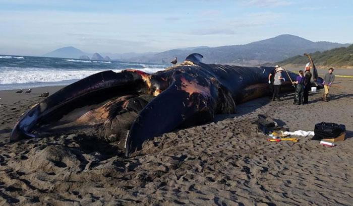 百吨蓝鲸被冲上美国俄勒冈州黄金海滩 厄尔尼诺现象为罪魁祸首