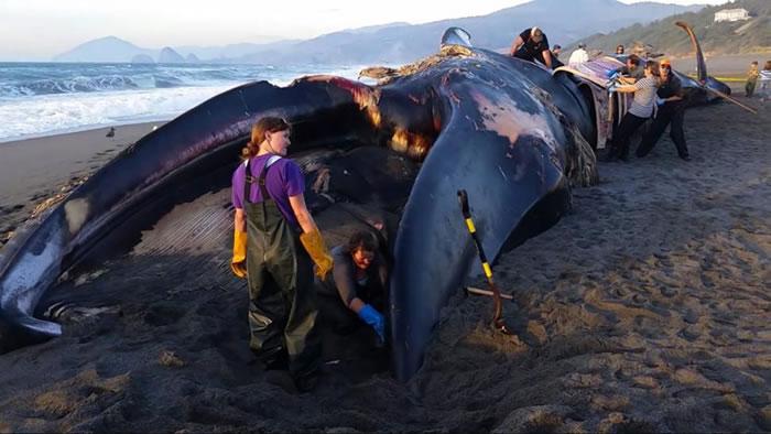 这头蓝鲸被冲上海滩前已经死亡2周