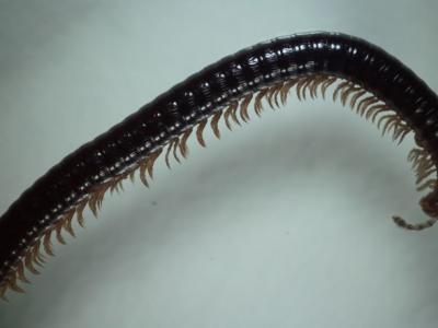 俄罗斯阿尔泰地区发现新型蜈蚣Sibiriulus baigazanensis 多达750条腿