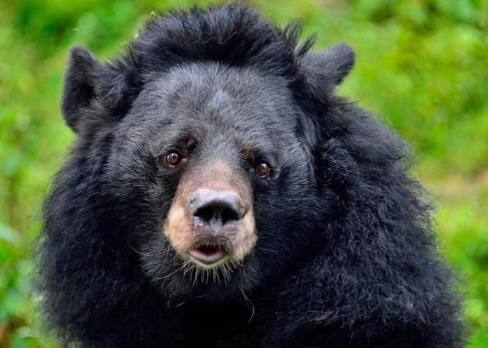 懒熊露出一副无辜又可爱的模样,被踢爆原来只为满足操纵人类的欲望。