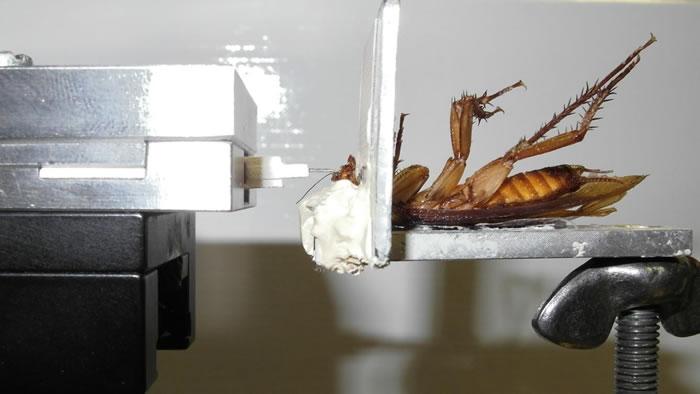 研究称蟑螂咬合力是人类5倍