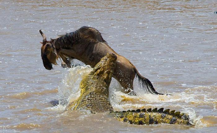 肯尼亚马赛马拉国家保护区角马迁徙横渡玛拉河途中遭鳄鱼偷袭