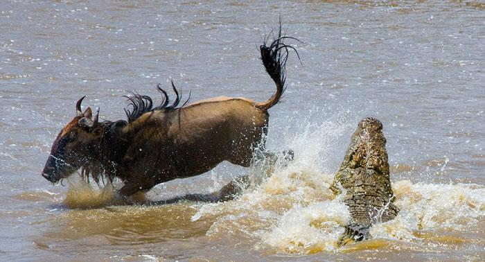 角马在最后时刻扭动身体闪过鳄鱼的嘴巴