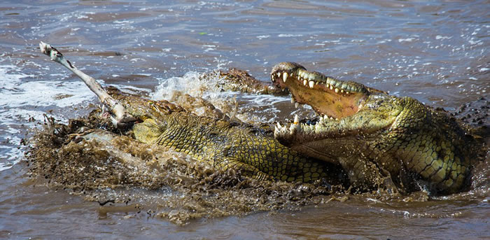 尽管前面的角马幸运逃生,但鳄鱼沿着这段河流捕获到另一头角马。
