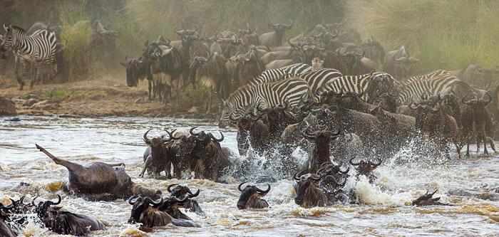 野生动物摄影师安德烈·古德科夫(Andrey Gudkov)在肯尼亚马赛马拉国家保护区拍摄了角马群正通过玛拉河的壮观场景。