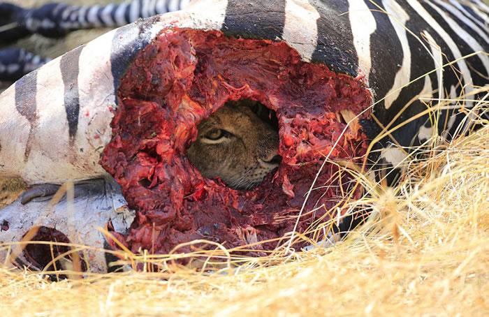 坦桑尼亚赛伦盖蒂平原狮子藏匿于斑马尸体