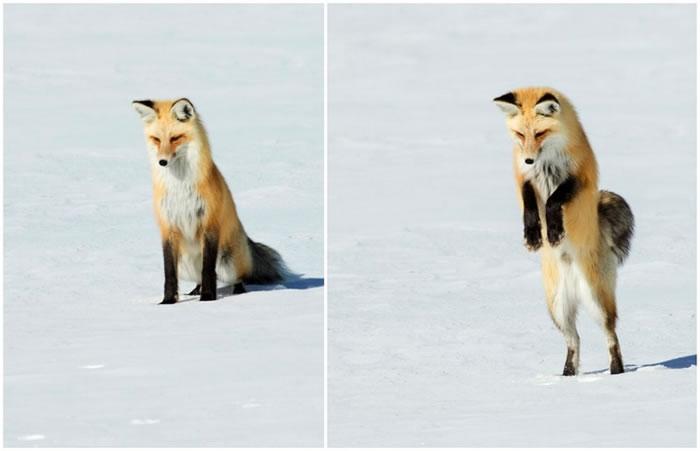 美国怀俄明州黄石国家公园一只红狐为捕捉猎物一跃而起直接将头扎进雪堆