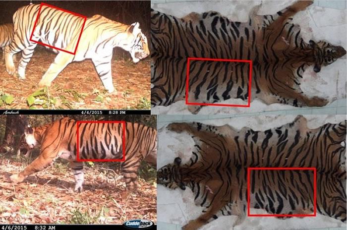 泰国保护区带子母老虎遭剥皮 肉卖到曼谷&日本邪恶丝袜少女漫画nbsp;