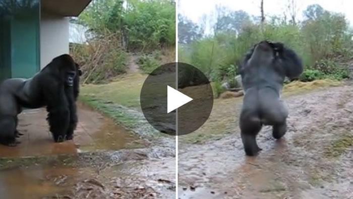 美国南卡罗来纳州动物园大猩猩Kimya雨中用手护头防淋湿