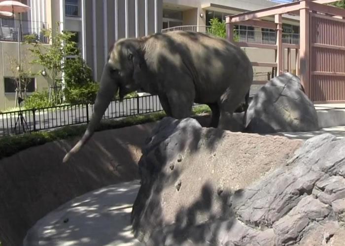日本科学家发现亚洲象能利用鼻子将食物吸到自己口边