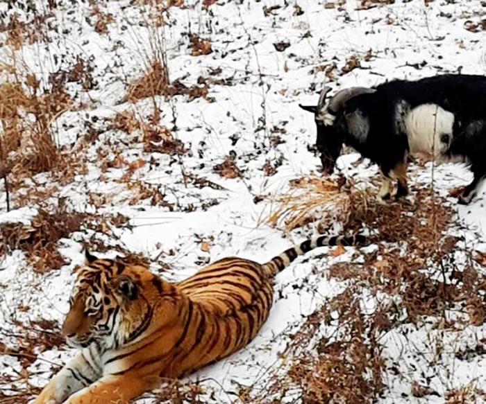 当老虎开始咆哮,山羊便做出防守的姿势,随时准备反击。