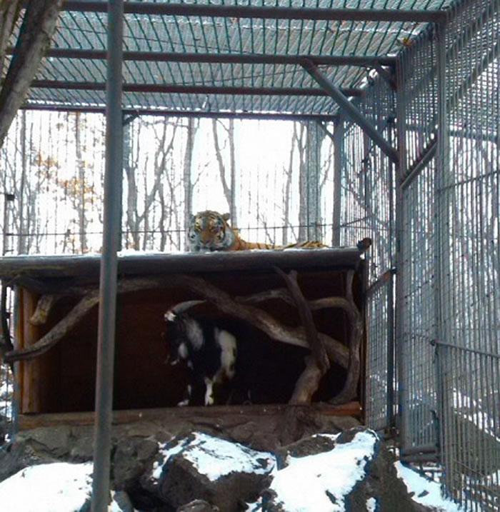 这只本应是老虎口中餐的山羊和老虎同吃同住,甚至还占了老虎的窝。