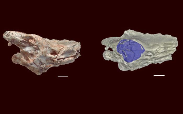 CT扫描表明,恐蛇的内耳结构非常独特,具有穴居爬行动物的特征