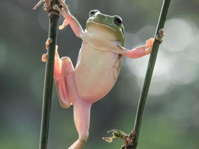 """印尼摄影爱好者拍摄到""""体操王子""""小青蛙"""