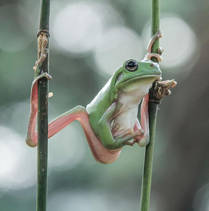 照片中这只青蛙四只脚分别黏在两条竹竿上