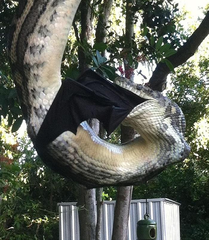 今年7月份,来自澳大利亚昆士兰州努萨的米莉-斯托弗灵与男友肖恩-图埃尔在自家后院中也抓拍到一条巨型蟒蛇吞食黑色蝙蝠的惊人场景。