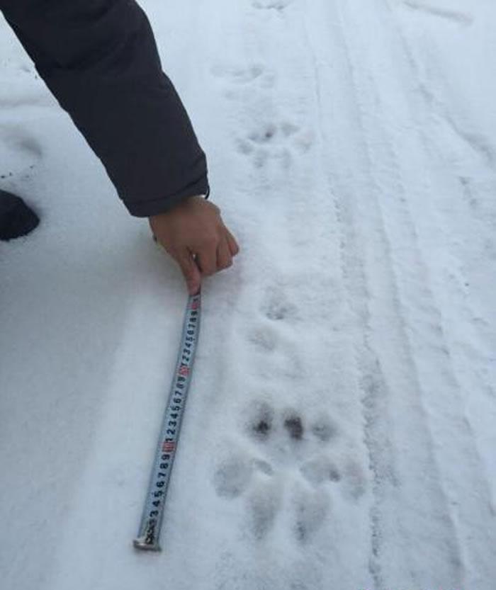 在黑龙江小北湖国家级自然保护区境内,发现野生东北虎足迹。